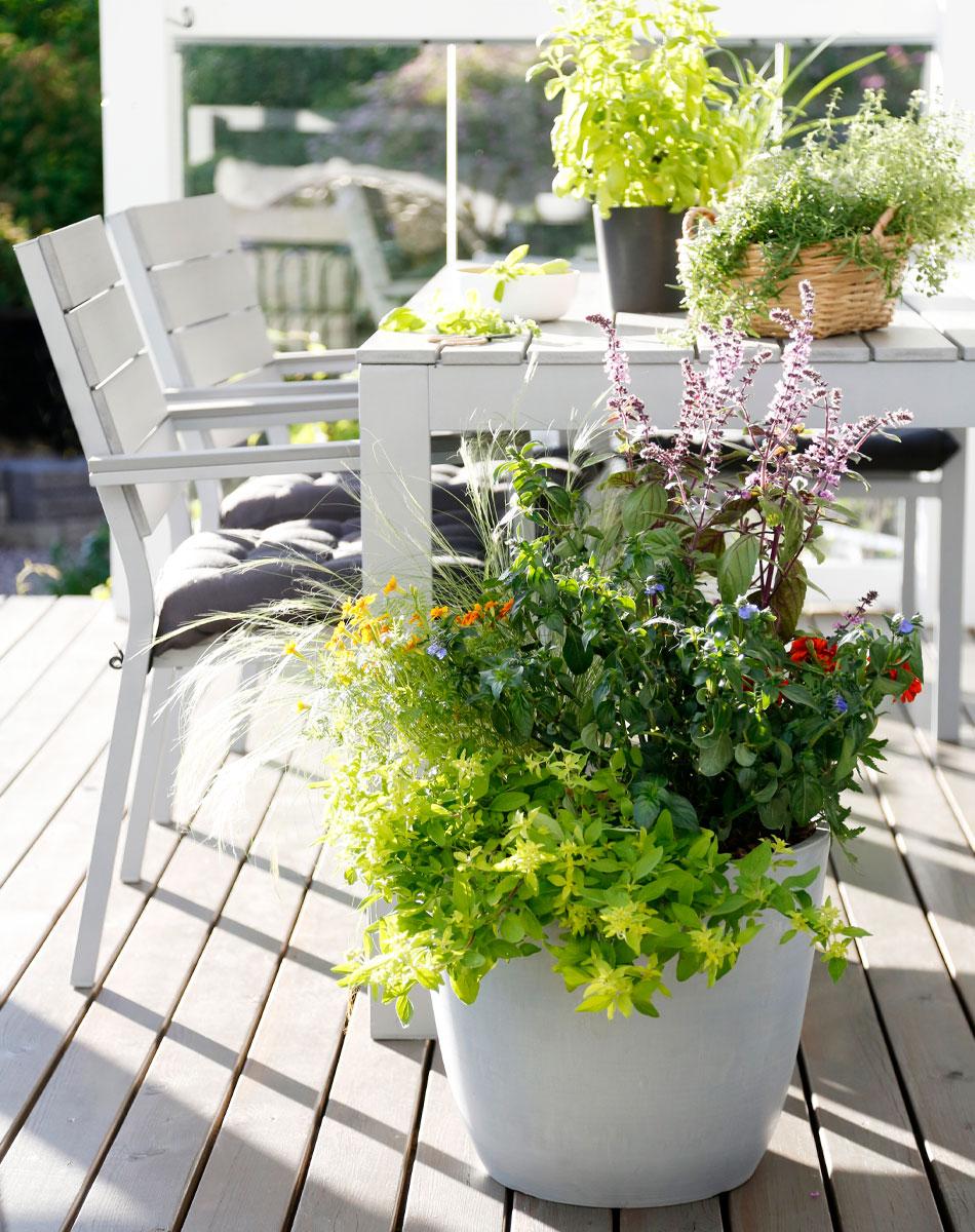 syötävät kukat yritit ruukussa kesäkukkaistutus vihreä