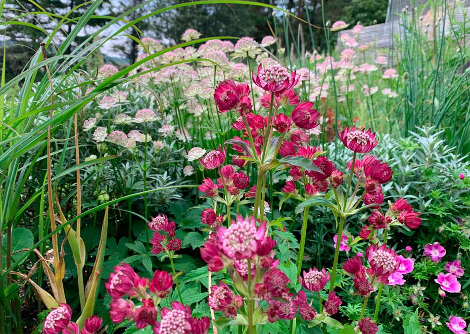 isotähtiputki perennat puolivarjoisalla kasvupaikalla pinkkejä perennoja