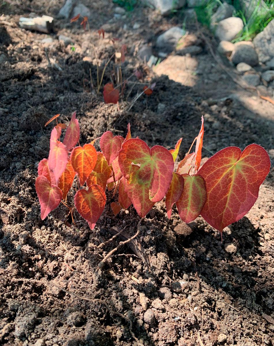maanpeiteperenna tarhavarjohiippa värikkäät lehdet
