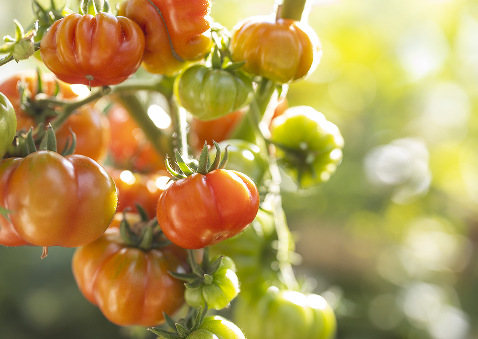 Isot ja mehukkaat tomaatit