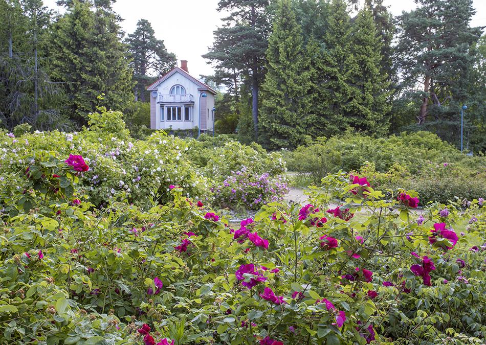 Ruusutarha pensasruusuilla